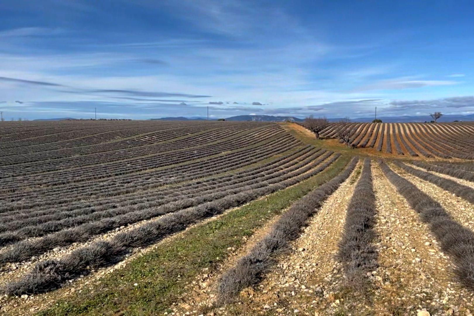 Lavendel, Lavendelhonig, Plateau de Valensole, Lavendelfelder